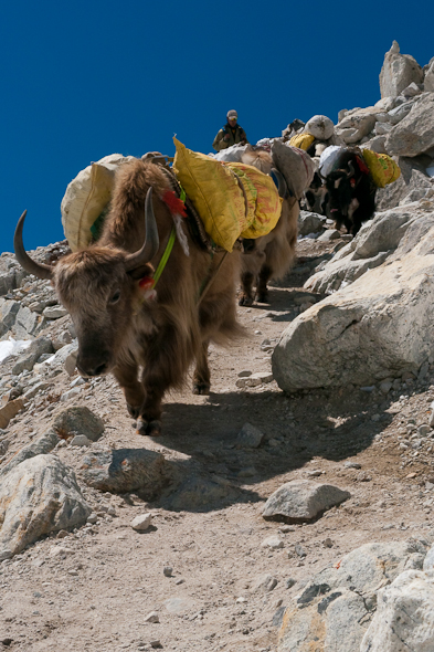 yaks walking to everest base camp