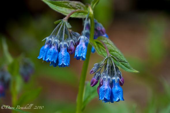 Flora-Alaska-Blue-Belles
