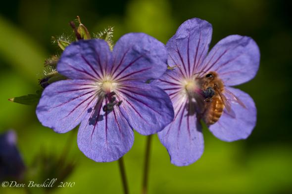 Flora-Alaska-Northern-Geranium