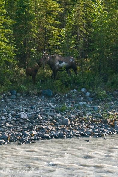 Moose and her calf in Alaska
