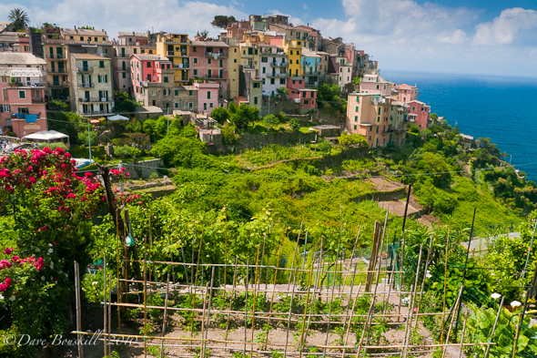 vinyards and orchards on Italian riviera