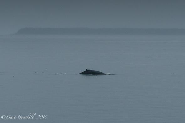 Zodiac Adventure-Ketchican-Alaska-Humpback-Whales