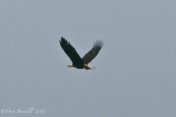 Zodiac Adventure-Ketchican-Alaska-Bald Eagle