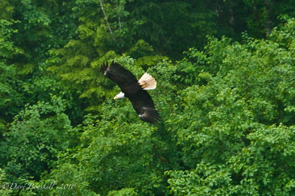 Zodiac Adventure-Ketchican-Alaska-Bald Eagle-Wingspan