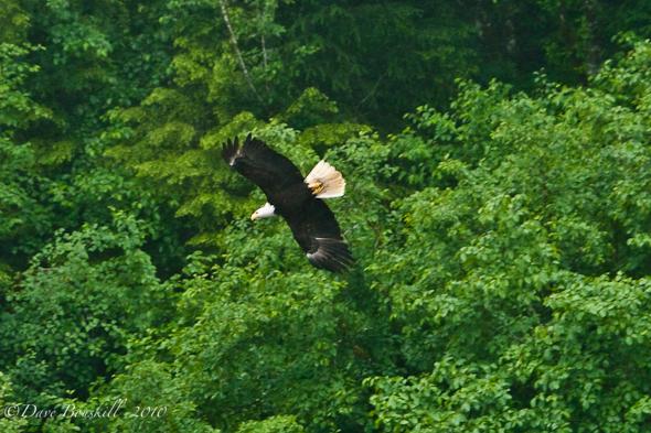 Zodiac Adventure-Ketchican-Alaska-Bald Eagle-Wingspan