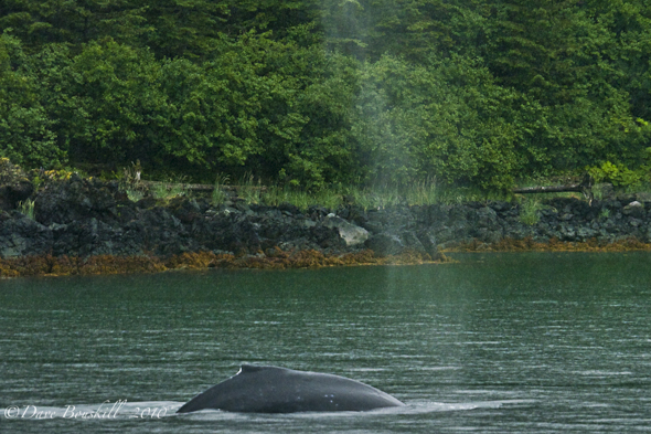 Alaska-Juneau-Whale-Watching-Humpback-Blow