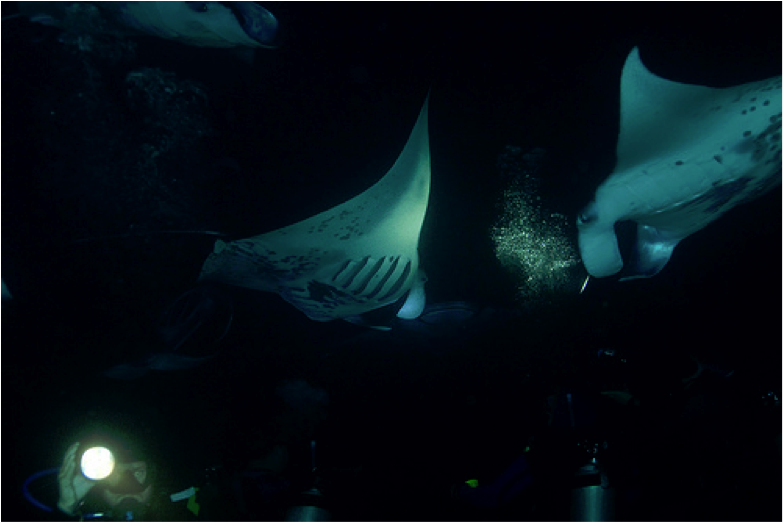 Manta Ray Night Snorkel Manta Ray Night Dive Hawaii