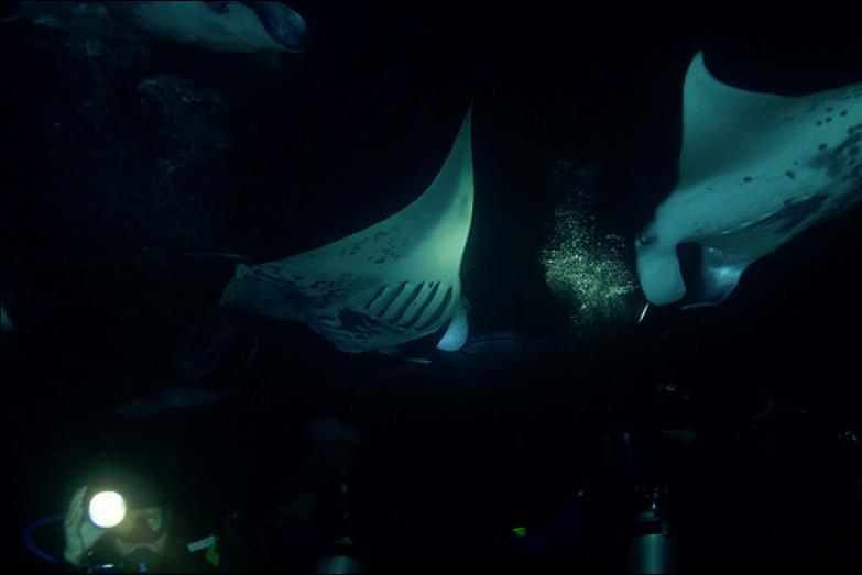 manta ray night dive hawaii