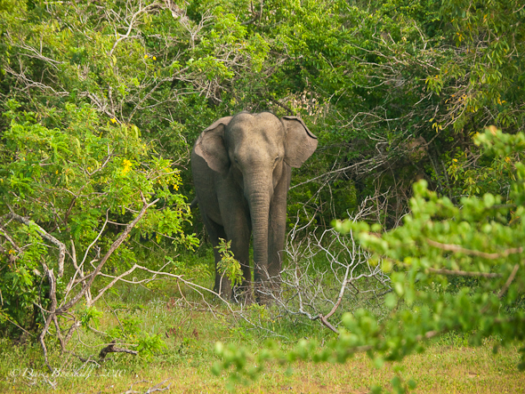 Asian Elephant Pests